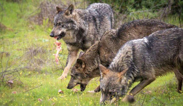 Lobos-comiendo-carne