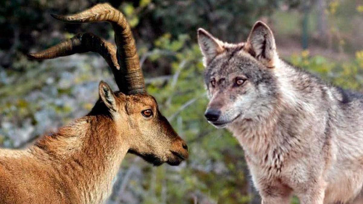 Macho de cabra montés y lobo