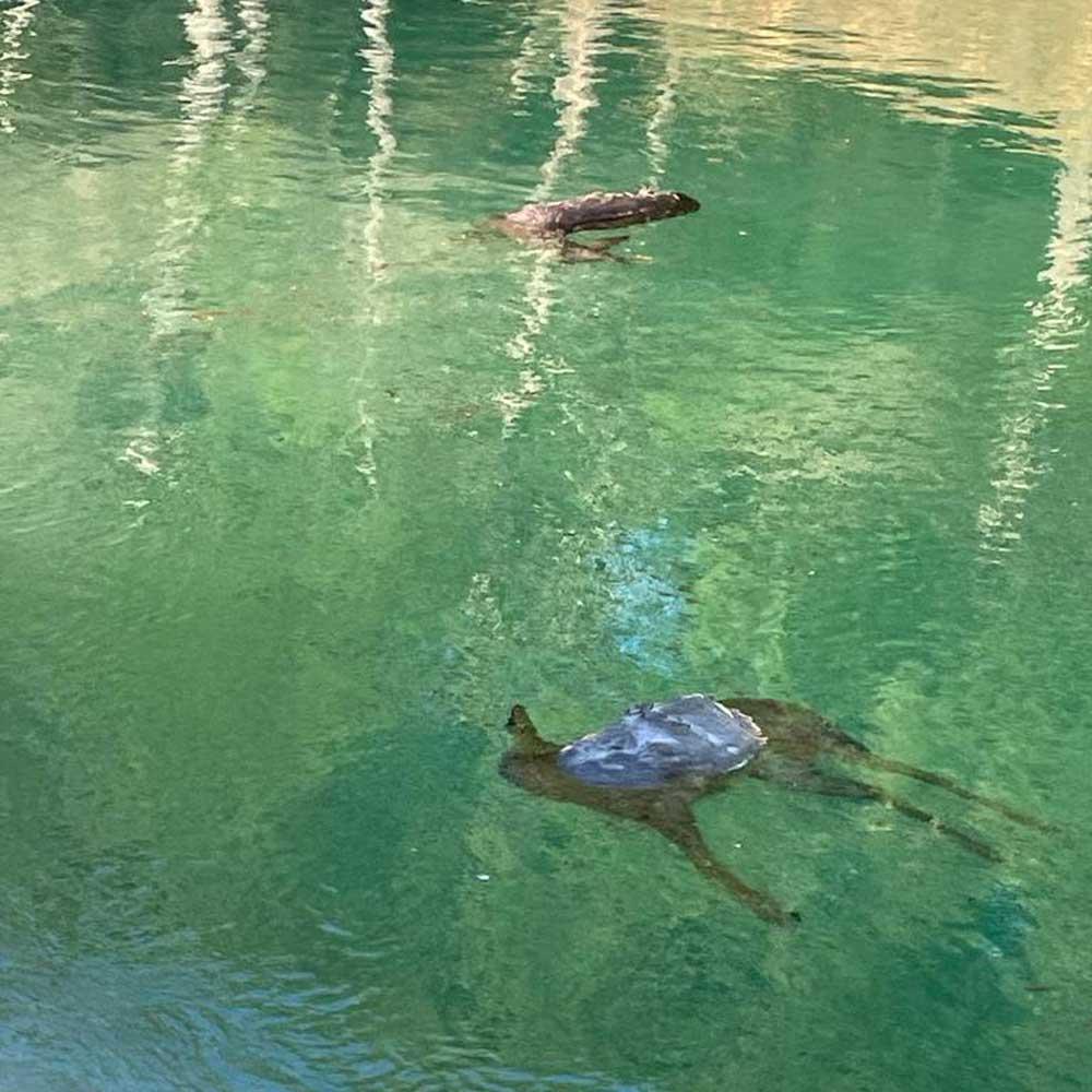 corzos ahogados trasvase