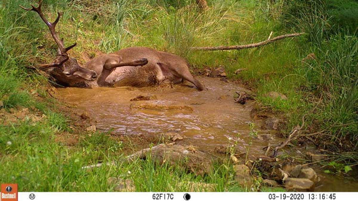 IREC-Fototrampeo-densidad-fauna_ciervo