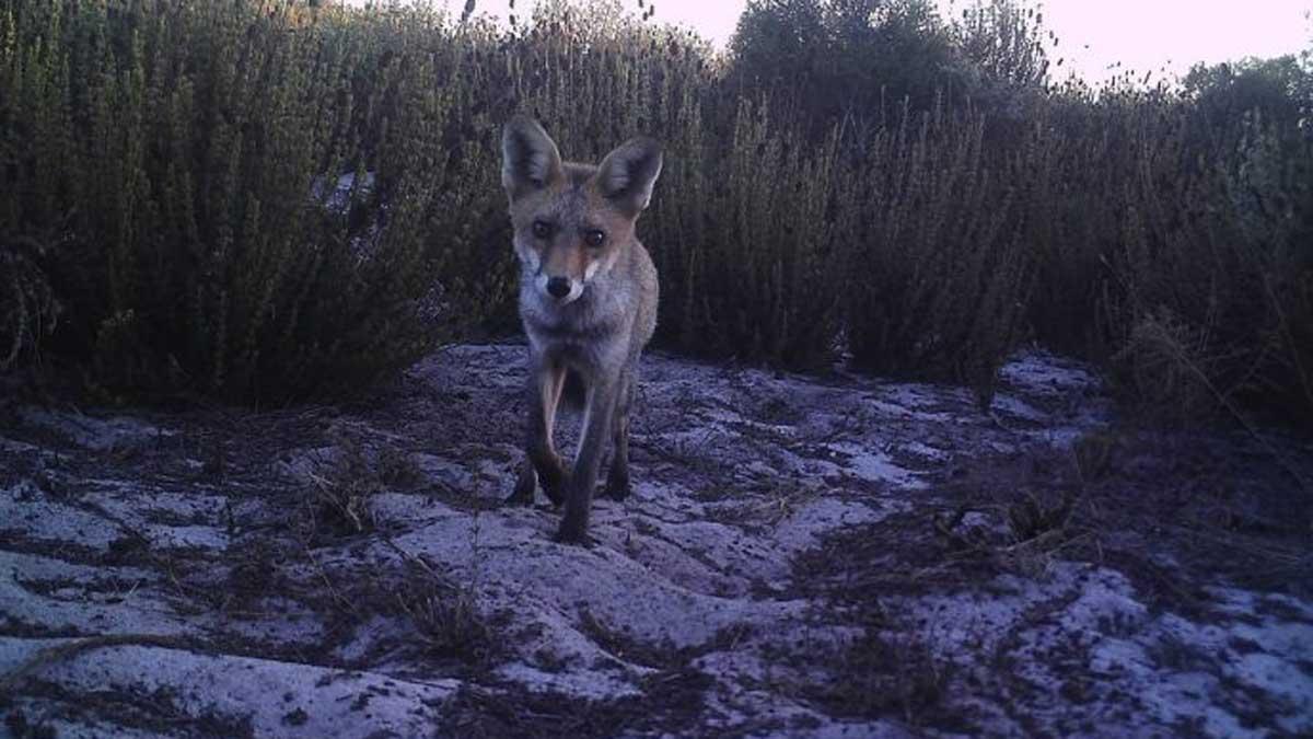 IREC_Fototrampeo-densidad-fauna zorro