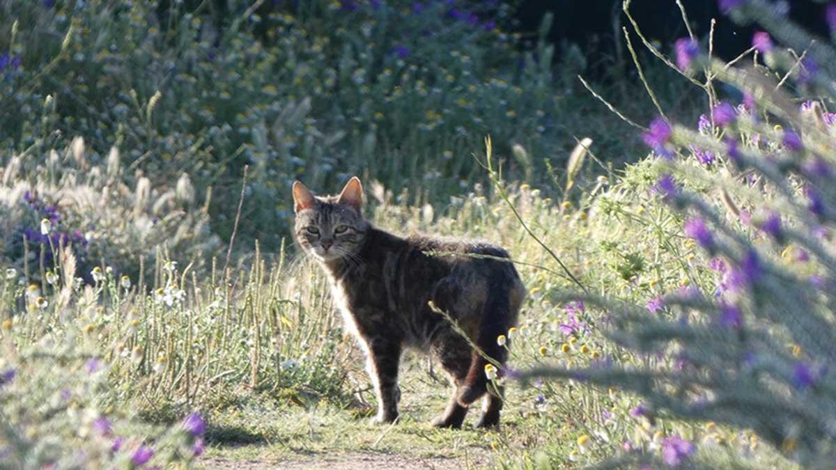 gato doméstico en campo