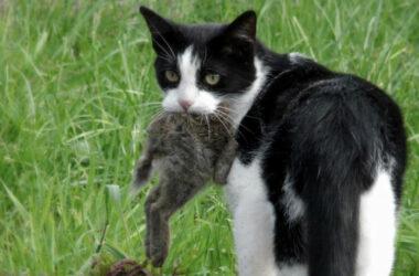 Gato doméstico con conejo cazado