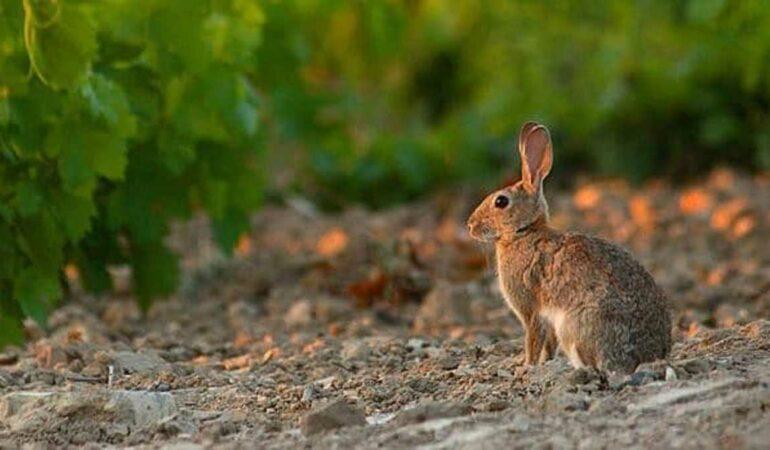 Conejo-proyecto-REGULA_IREC