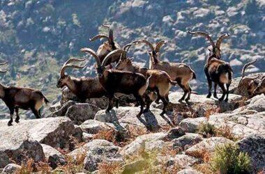 Grupo de cabras monteses