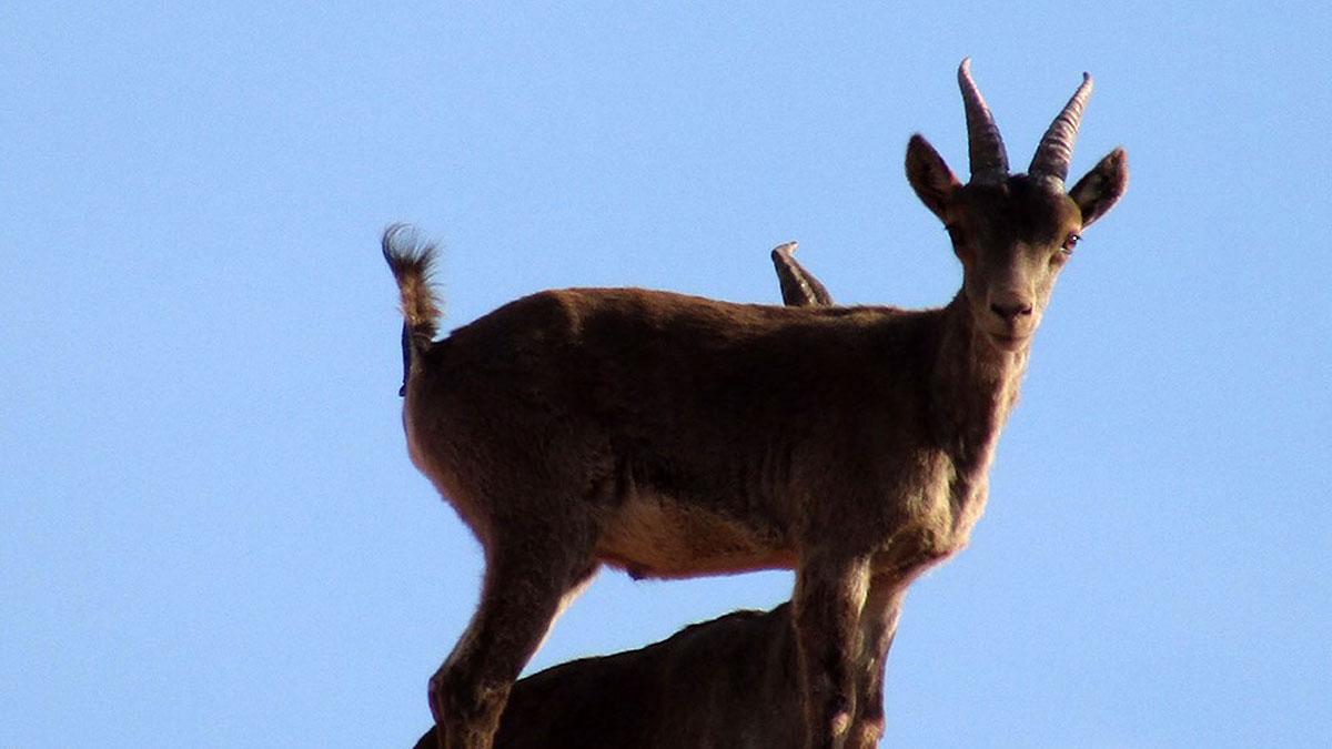 cabra-montés-Fundación-Artemisan