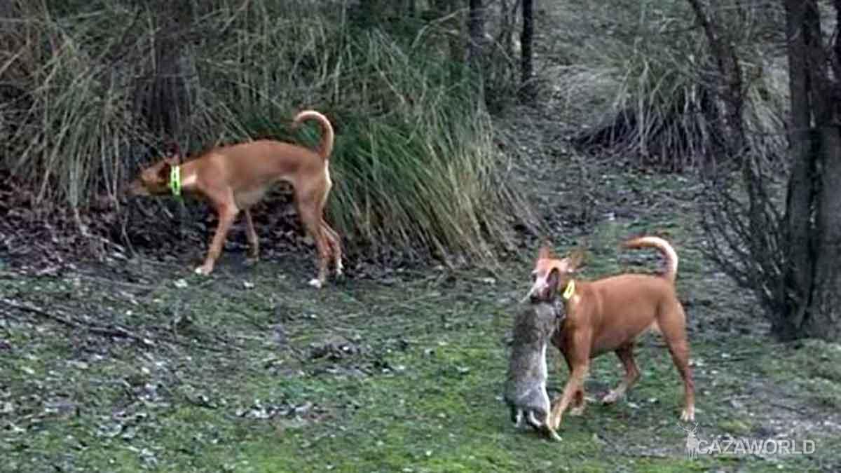 caza-a-diente-de-conejo-con-podencos