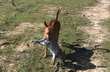 caza de conejo a diente podenco