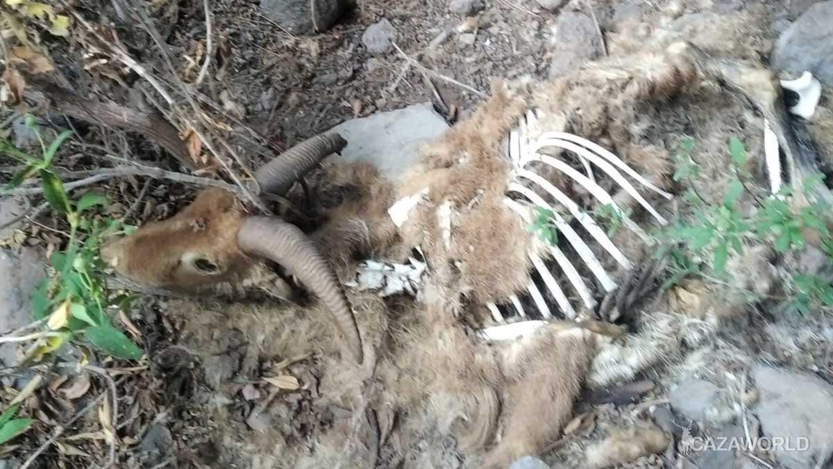 Cadáver de arruí abandonado en La Palma.