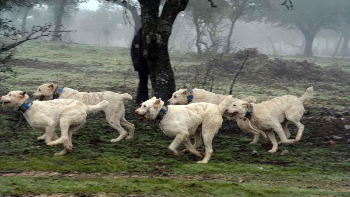 perros-de-rehala-AER