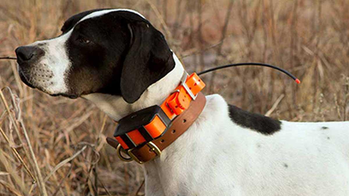 perro con collar de adiestramiento eléctrico
